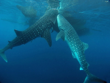 12_whale_sharks_in_cruising_indonesia_expeditions