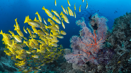 cruises for scuba divers in Banda Sea Indonesia