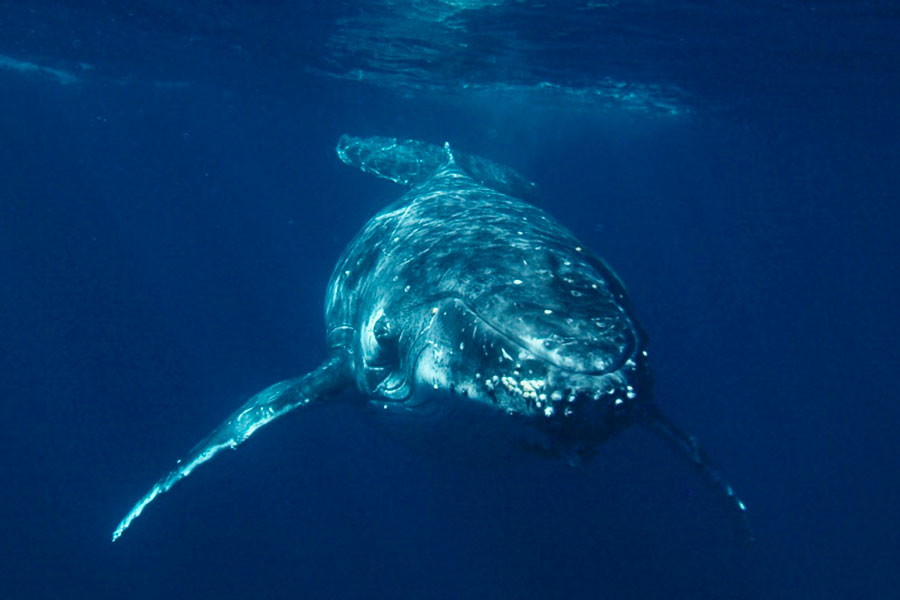Face-to-face encounter with a humpback whale