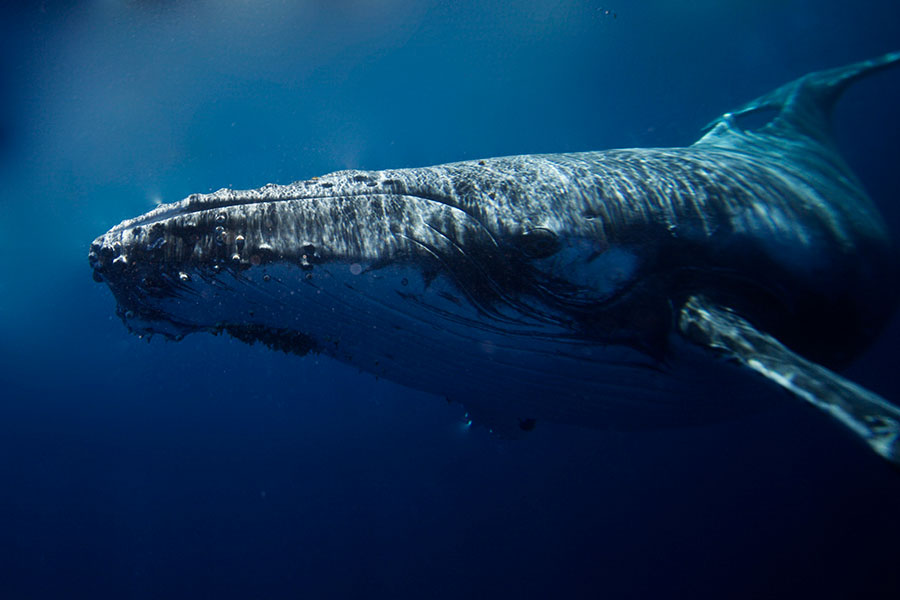 Giant humpback whale scanned us